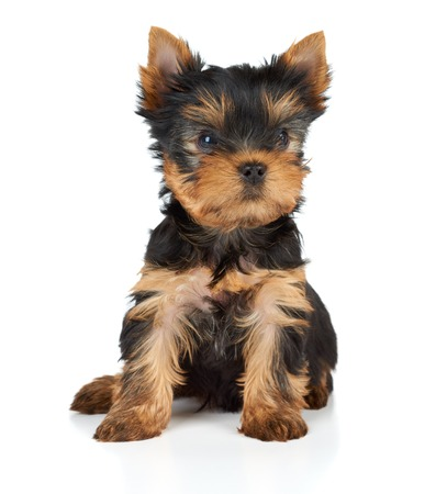 dog white background: One puppy of the Yorkshire Terrier on white