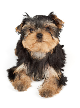 dog grooming: One puppy of the Yorkshire Terrier isolated on white background