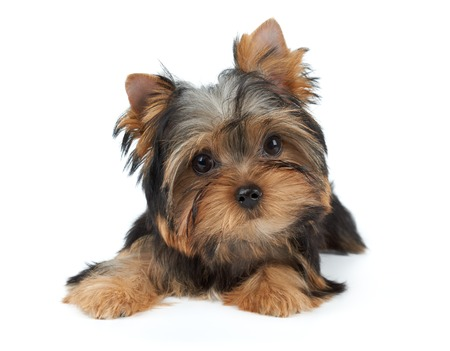 one dog: Lovely puppy of the Yorkshire Terrier isolated on white