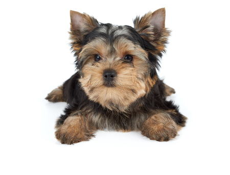 dog grooming: Miniature puppy of the Yorkshire Terrier isolated on white Stock Photo