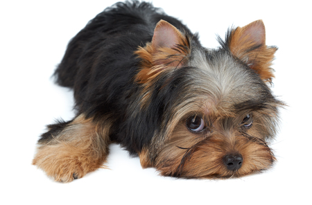 dog grooming: Lovely puppy of the Yorkshire Terrier isolated on white