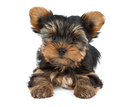 dog grooming: Miniature puppy of the Yorkshire Terrier with funny ears isolated on white Stock Photo