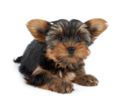 dog grooming: One funny puppy of the Yorkshire Terrier with big ears isolated on white background
