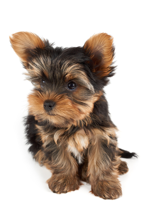 one dog: One puppy of the Yorkshire Terrier sits on white background and looks up Stock Photo