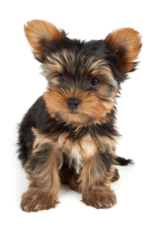 cute dog: One puppy of the Yorkshire Terrier sits on white background