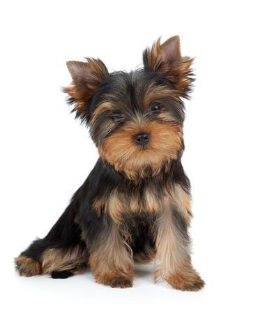 puppy love: Perrito muy lindo del terrier de Yorkshire en blanco