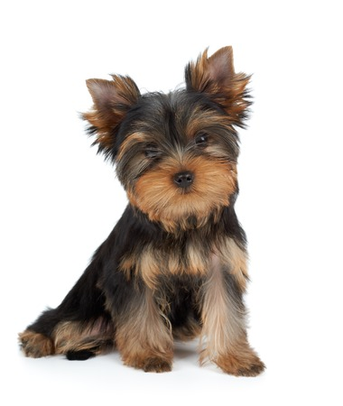 Very cute puppy of the Yorkshire Terrier on white Standard-Bild