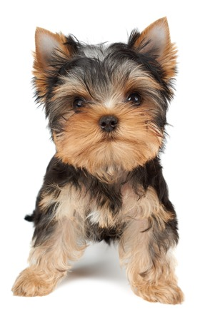 Small and cute puppy of the Yorkshire Terrier on white Standard-Bild