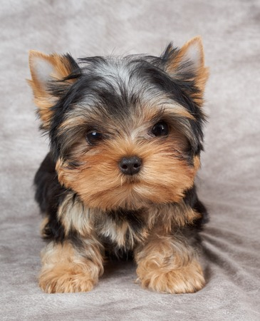 Small puppy of the Yorkshire Terrier on beige textile Stock Photo