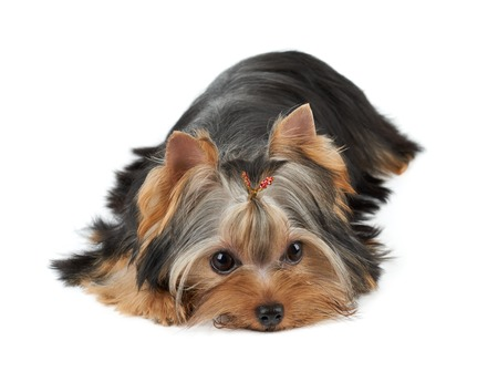 groomed: One groomed Yorkshire Terrier lies on white Stock Photo
