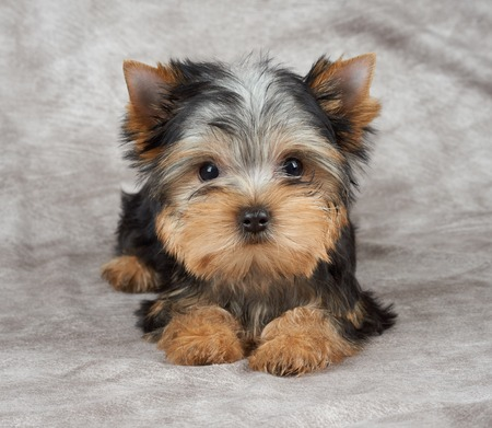 Puppy of the Yorkshire Terrier on beige textile background