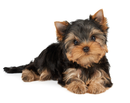 head tilted: One puppy of the Yorkshire Terrier tilted head on white Stock Photo