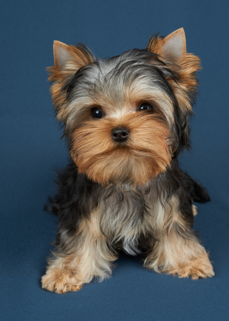 Puppy of the Yorkshire Terrier on blue textile background