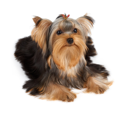 hairpin: Lovely Yorkshire Terrier with hairpin isolated on white Stock Photo
