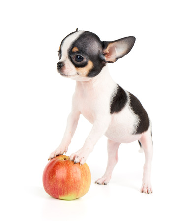 치와와 하나의 작은 강아지 흰색에 고립 된 사과에 선다