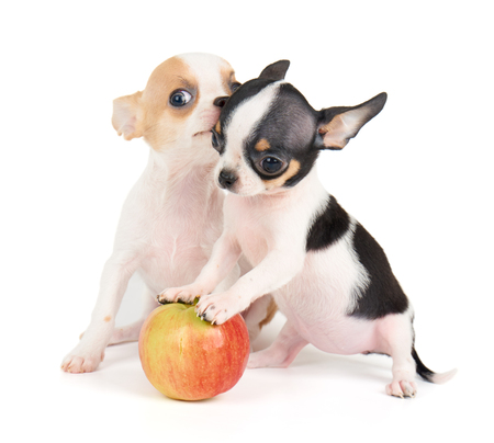 Two small puppies of Chihuahua and one apple isolated on white Standard-Bild