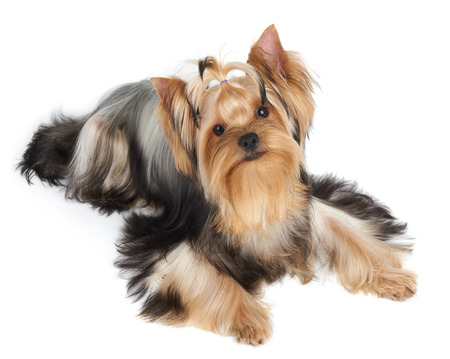 white washed: One Yorkshire Terrier looks up Stock Photo