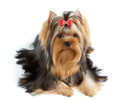 groomed: Beautiful Yorkshire Terrier of show class with perfectly groomed long hair and red bow. Stock Photo