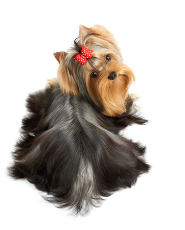 groomed: Beautiful Yorkshire Terrier of show class with perfectly groomed long hair and red bow. It lies on white isolated background. Stock Photo