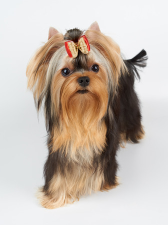 hair bow: Yorkshire Terrier with beautiful eyes and hair bow stands on white background Stock Photo
