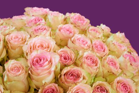 the greenish: Bunch of pink and greenish roses on violet background