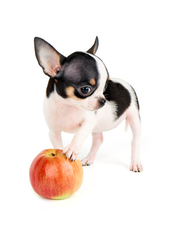 One small puppy of Chihuahua with one paw on apple isolated on white