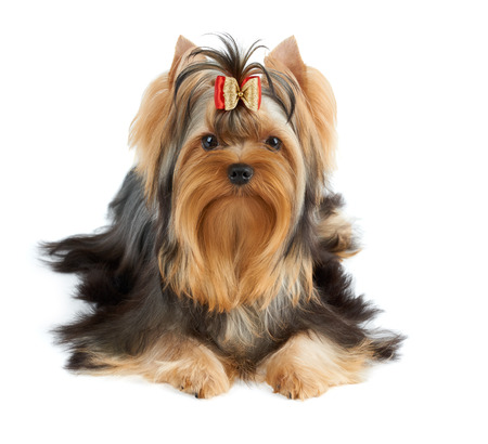 groomed: Beautiful Yorkshire Terrier of show class with perfectly groomed long hair and bow. Stock Photo