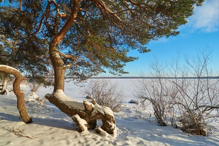 Pine trees on the shore of Vselug lake in winter. Penovskiy district, Tver oblast, Russia.