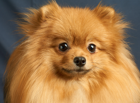groomed: Close-up portrait of one red Pomeranian dog