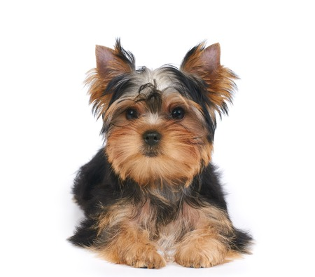 One puppy of the Yorkshire Terrier lies on white isolated background Stock Photo - 74263558