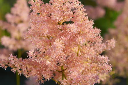 Pink astilbe growing in the garden in summer
