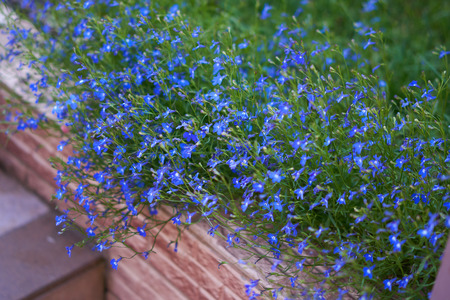 Blue lobelia flowers grow on the flower bed in the summer garden Stock Photo