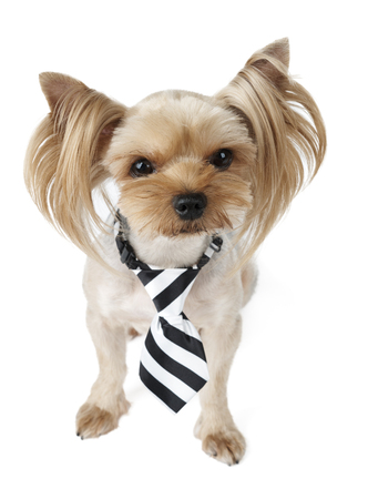 One cute Yorkshire Terrier wearing tie with black and white stripes isolated on white