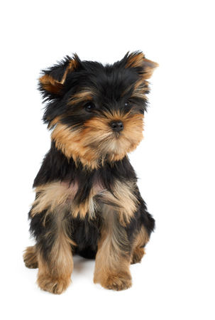 One cute puppy of the Yorkshire Terrier sits on isolated white background