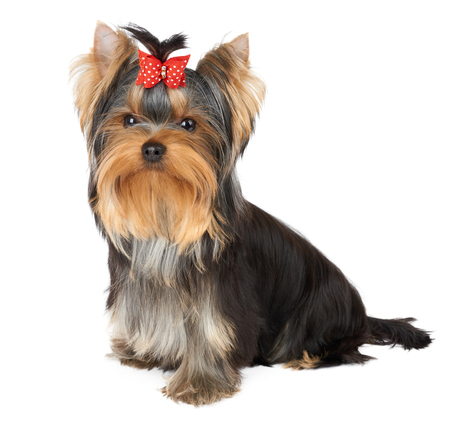 Puppy of the Yorkshire Terrier with red hair bow Imagens