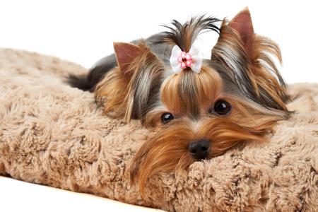 Yorkshire Terrier se trouve sur un lit de chien brun Banque d'images