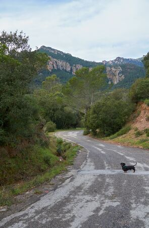 Short hair Dachshund on the road in Domaine de Maure-Vieil, Mandelieu-La Napoule, French Riviera, France. 스톡 콘텐츠