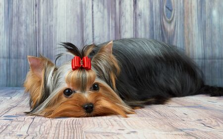 Beautiful and cute Yorkshire Terrier with red hair bow lies on wooden background Stock Photo