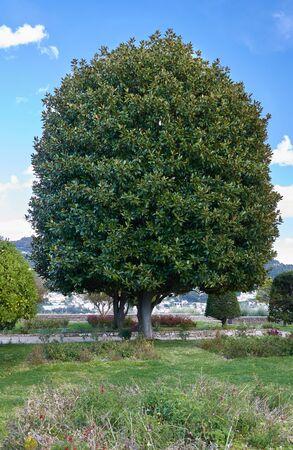 Beautiful tree in the Monastere de Cimiez Garden in Nice, France.