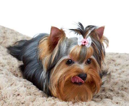 Licking Yorkshire Terrier lies on brown dog bed