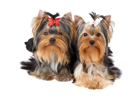 Two cute Yorkshire Terriers lying together on white isolated background of the studio and looking into the camera