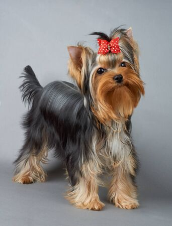 One cute Yorkshire Terrier with red hair bow stands on gray background