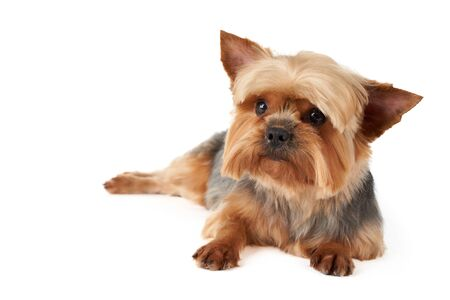 Cute Yorkshire Terrier isolated on white background