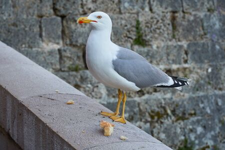 One seagull eats bread on the cityscape backgound in Monaco Imagens