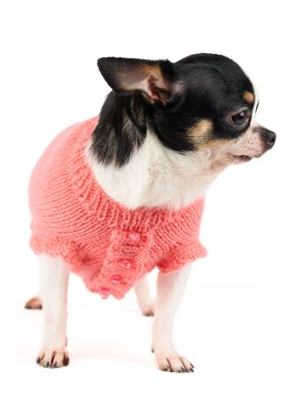One cute Chihuahua in knitted pink pet vest isolated on white Stock Photo