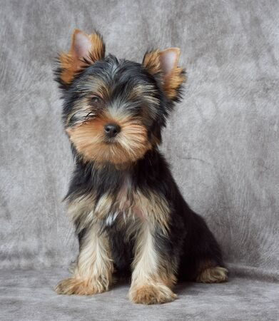 Puppy of the Yorkshire Terrier on backdrop
