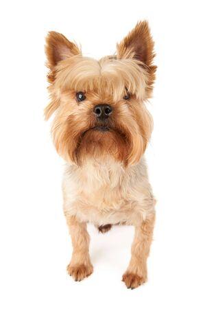 One groomed Yorkshire Terrier isolated on white Standard-Bild