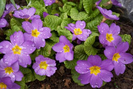 Violet Primula flowers grow in springtime garden