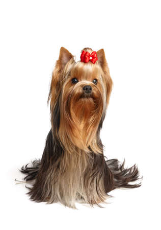Beautiful Yorkshire Terrier of show class with perfectly groomed long hair and red bow. Standard-Bild