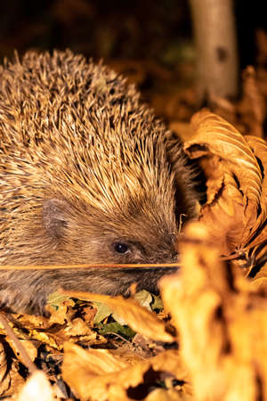 Wild, native hedgehog Between the leaves of autumn at night close up